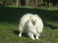 For sale ice -white pomeranian female .She likes pet .