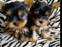 Providing small to tiny healthy, quality AKC Yorkie
