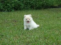 I am offering soft cream pomeranian male for sale.Hi is