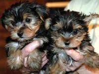 Home Raised Teacup Yorkies. they are in perfect health