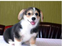 Pembroke Welsh Corgi puppies for sale,we do have male
