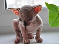 Household sphynx kittens for a good and reliable family