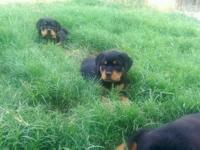 Big stocky Rottweiler young puppies. Obstructed head.