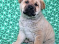 Avery is a 10 week old shar pei mix .Her adoption fee