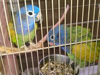 1 Pair of Meyers Parrots 2 Pair of Canary Wing