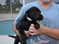 Beautiful Labradors puppies for sale! I have 1 black