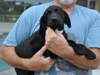 Beautiful Labradors puppy for sale! I have 1 black