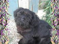 AKC. Registered MALE,Shih Tzu,9 months old,Standard