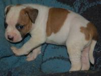 Eight awesome american bulldog pups will be ready for