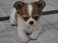 Animal Type: Dogs Breed: Chihuahua Little Melissa and