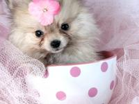 Awesome and adorable pure teacup Pomeranian pups They