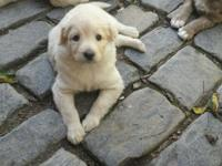 We have only 3 Beautiful Aussie Doodle Puppies left