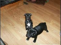 We have 2 Beautiful Black Bully puppies. Our Bullys are