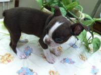 This Seal and White Boston Terrier lady is 9 weeks old
