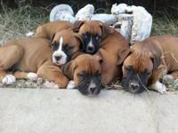 We have 4 pure bred boxer puppies that were born on
