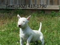 Gorgeous male and female bull terrier puppies. They are