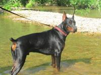 Awesome Doberman 8w/o puppies 5 females black/tan.