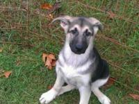 AWESOME GERMAN SHEPHERD PUPPIES WITH EXTREMELY RARE &