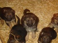 Litter of 8 purebred GSD Puppies. Ready Dec 9th but I