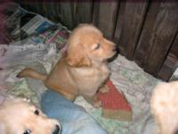 A beautiful litter of light golden puppies. AKC