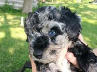 We have 5 Beautiful Aussie Doodle Puppies left and