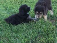 I have 2 Miniature Aussie-Doodle puppies for sale. dob