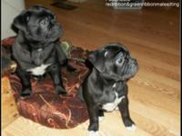 We have 4 Awesome Mini Olde bulldogge pups. All set for