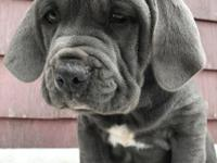 We have a stunning litter of Neapolitan  Only 3
