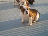 We have awesome olde ENGLISH BULLDOG mix wint English