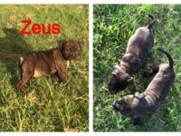 These wonderful dogs born May 7th. Super healthy, had