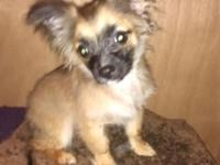 12 week old male pom chis 2 left tri colored brown
