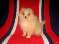 Gorgeous Purebred Teacup Size Pomeranian (Pom Pom)