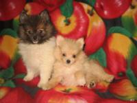 Stunning Purebred Tiny & Teacup Size Pomeranian (Pom