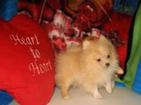 Purebred Teacup Size Pomeranian (Pom Pom) Pup!!! * 17