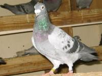 ****Awesome Racing & Messenger Pigeons 4 Sale****