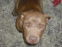 I am selling my purebred 7 month old Red Nose Pitbull