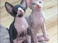 Awesome Sphynx Kittens For good Homes..They are upto