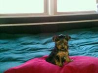 CKC REGISTERED TEACUP YORKIE-POO 'S, 10 WEEKS OLD AND
