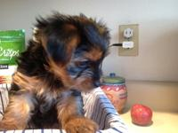 We have 2 beautiful female Yorkie pups ready for their