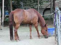 This is a registered 7 yr old AQHA mare. She is an