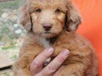 We have 4 Beautiful Aussie Doodle Puppies that are