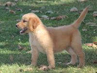Awesome golden retriever Puppies.They are current on