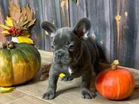 Awesome Male/Females French Bulldog puppies available