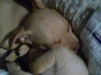 2 month old short haired Chihuahua puppies light brown