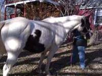 7 year old paint gelding great for beginners or kids or
