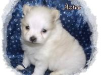 Aztec is a beautiful heavy coated cream parti male