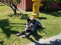 B.B, female fiest/heeler puppy 4-5 months of age is