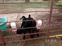 2 babie calfs still on bottle black angus. they are one