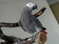 Baby african grey parrots available now male and female