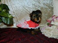 Christmas Yorkies will be available Christmas Day! If